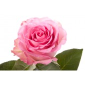 Роза 60 см розовая