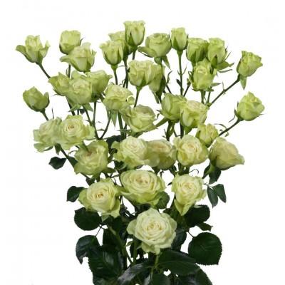 Роза кустовая белая Голландия