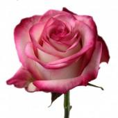 Роза Эквадор Палома 75 см (крупный бутон)