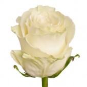 Роза белая White Naomi 75 см