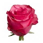 """Роза  малиновая """"Лола"""" 60 см Эквадор"""