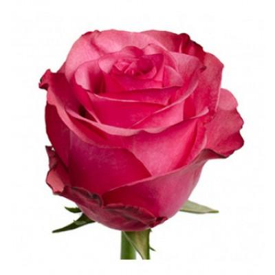 Роза Игуаза 60 см