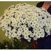 Букет 51 хризантема Бакарди