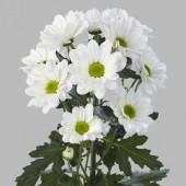 Хризантема ромашковидная Бакарди белая