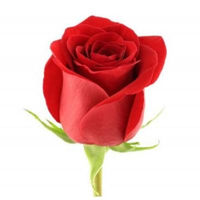 Роза красная 75 см