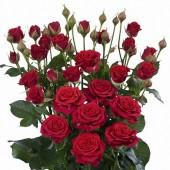 Роза кустовая красная Мирабель Голландия