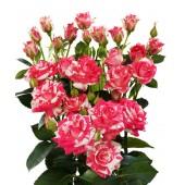 Роза кустовая премиум Фаер воркс 60 см