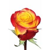 Роза оранжевая High  Magic