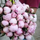 "Пион ""Сара Бернар"" розовый"